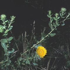 Plant form: Grindelia squarrosa. ~ By Frank Bramley. ~ Copyright © 2018 New England Wild Flower Society. ~ Image Request, images[at]newenglandwild.org