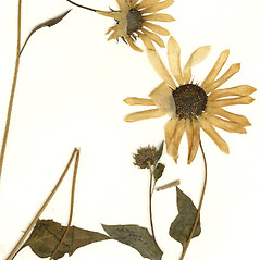 Flowers: Helianthus debilis. ~ By CONN Herbarium. ~ Copyright © 2019 CONN Herbarium. ~ Requests for image use not currently accepted by copyright holder ~ U. of Connecticut Herbarium - bgbaseserver.eeb.uconn.edu/
