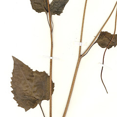 Leaves: Helianthus debilis. ~ By CONN Herbarium. ~ Copyright © 2018 CONN Herbarium. ~ Requests for image use not currently accepted by copyright holder ~ U. of Connecticut Herbarium - bgbaseserver.eeb.uconn.edu/