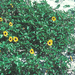 Plant form: Helianthus debilis. ~ By John Lynch. ~ Copyright © 2019 New England Wild Flower Society. ~ Image Request, images[at]newenglandwild.org