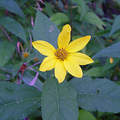 Flowers: Helianthus decapetalus. ~ By Arthur Haines. ~ Copyright © 2018. ~ arthurhaines[at]wildblue.net