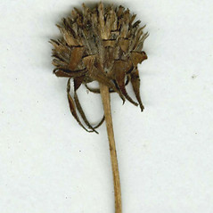Fruits: Helianthus decapetalus. ~ By CONN Herbarium. ~ Copyright © 2017 CONN Herbarium. ~ Requests for image use not currently accepted by copyright holder ~ U. of Connecticut Herbarium - bgbaseserver.eeb.uconn.edu/