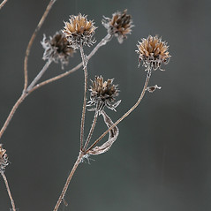 Fruits: Helianthus divaricatus. ~ By Arieh Tal. ~ Copyright © 2020 Arieh Tal. ~ http://botphoto.com/ ~ Arieh Tal - botphoto.com