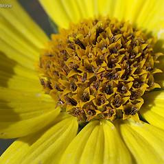 Flowers: Helianthus giganteus. ~ By Keir Morse. ~ Copyright © 2019 Keir Morse. ~ www.keiriosity.com ~ www.keiriosity.com