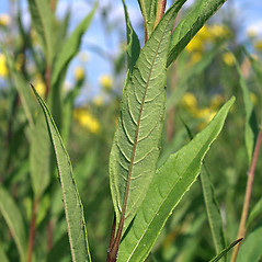 Leaves: Helianthus giganteus. ~ By Keir Morse. ~ Copyright © 2020 Keir Morse. ~ www.keiriosity.com ~ www.keiriosity.com