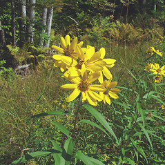 Plant form: Helianthus grosseserratus. ~ By Arthur Haines. ~ Copyright © 2018. ~ arthurhaines[at]wildblue.net