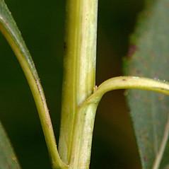 Stems: Helianthus grosseserratus. ~ By Paul S. Drobot. ~ Copyright © 2018 Paul S. Drobot. ~ www.plantstogrow.com, www.plantstockphotos.com ~ Robert W. Freckmann Herbarium, U. of Wisconsin-Stevens Point