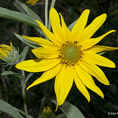Flowers: Helianthus maximiliani. ~ By Keir Morse. ~ Copyright © 2018 Keir Morse. ~ www.keiriosity.com ~ www.keiriosity.com