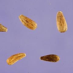 Fruits: Helianthus occidentalis. ~ By Tracey Slotta. ~  Public Domain. ~  ~ USDA-NRCS Plants Database - plants.usda.gov/java/