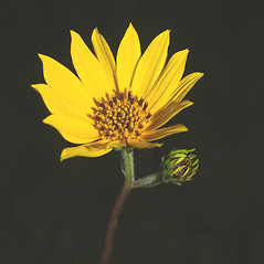Flowers: Helianthus occidentalis. ~ By Christopher Noll. ~ Copyright © 2019 Christopher Noll. ~ clnoll[at]uwalumni.com ~ Robert W. Freckmann Herbarium, U. of Wisconsin-Stevens Point