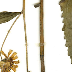 Stems: Helianthus pauciflorus. ~ By CONN Herbarium. ~ Copyright © 2018 CONN Herbarium. ~ Requests for image use not currently accepted by copyright holder ~ U. of Connecticut Herbarium - bgbaseserver.eeb.uconn.edu/