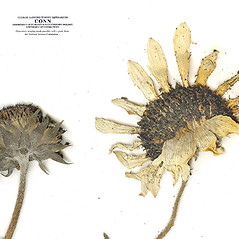Flowers: Helianthus petiolaris. ~ By CONN Herbarium. ~ Copyright © 2017 CONN Herbarium. ~ Requests for image use not currently accepted by copyright holder ~ U. of Connecticut Herbarium - bgbaseserver.eeb.uconn.edu/