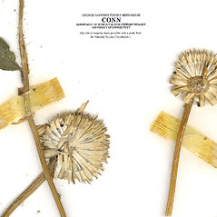 Fruits: Helianthus petiolaris. ~ By CONN Herbarium. ~ Copyright © 2019 CONN Herbarium. ~ Requests for image use not currently accepted by copyright holder ~ U. of Connecticut Herbarium - bgbaseserver.eeb.uconn.edu/