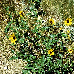 Plant form: Helianthus petiolaris. ~ By Robert Kowal. ~ Copyright © 2019 Robert Kowal. ~ Dept. of Botany, College of Letters and Science, 430 Lincoln Dr., Madison, WI 53706-1381 ~ Robert W. Freckmann Herbarium, U. of Wisconsin-Stevens Point