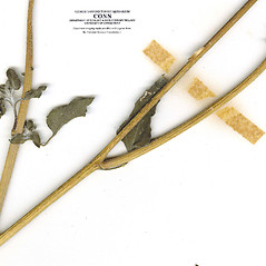 Stems: Helianthus petiolaris. ~ By CONN Herbarium. ~ Copyright © 2017 CONN Herbarium. ~ Requests for image use not currently accepted by copyright holder ~ U. of Connecticut Herbarium - bgbaseserver.eeb.uconn.edu/
