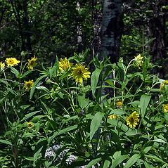 Plant form: Helianthus strumosus. ~ By Paul S. Drobot. ~ Copyright © 2017 Paul S. Drobot. ~ www.plantstogrow.com, www.plantstockphotos.com ~ Robert W. Freckmann Herbarium, U. of Wisconsin-Stevens Point