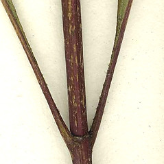 Stems: Helianthus strumosus. ~ By CONN Herbarium. ~ Copyright © 2019 CONN Herbarium. ~ Requests for image use not currently accepted by copyright holder ~ U. of Connecticut Herbarium - bgbaseserver.eeb.uconn.edu/