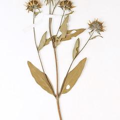 Flowers: Heliomeris multiflora. ~ By Amherst College Herbarium. ~ Copyright © 2019 Amherst College Herbarium. ~ Amherst College Herbarium