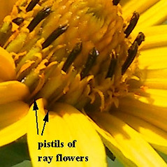 Flowers: Heliopsis helianthoides. ~ By Janet Novak. ~ Copyright © 2018 Janet Novak. ~ Requests for image use not currently accepted by copyright holder ~ Connecticut Botanical Society - www.ct-botanical-society.org/