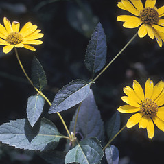 Leaves: Heliopsis helianthoides. ~ By Lawrence Newcomb. ~ Copyright © 2018 New England Wild Flower Society. ~ Image Request, images[at]newenglandwild.org