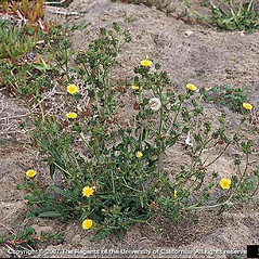 Plant form: Helminthotheca echioides. ~ By Joseph DiTomaso. ~ Copyright © 2018 CC BY-NC 3.0. ~  ~ Bugwood - www.bugwood.org/