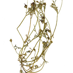 Plant form: Heterosperma pinnatum. ~ By CONN Herbarium. ~ Copyright © 2019 CONN Herbarium. ~ Requests for image use not currently accepted by copyright holder ~ U. of Connecticut Herbarium - bgbaseserver.eeb.uconn.edu/