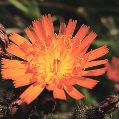 Flowers: Hieracium aurantiacum. ~ By Glen Mittelhauser. ~ Copyright © 2018 Glen Mittelhauser. ~ www.mainenaturalhistory.org