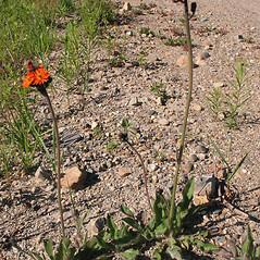 Plant form: Hieracium aurantiacum. ~ By Marilee Lovit. ~ Copyright © 2018 Marilee Lovit. ~ lovitm[at]gmail.com