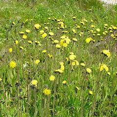 Plant form: Hieracium caespitosum. ~ By Glen Mittelhauser. ~ Copyright © 2017 Glen Mittelhauser. ~ www.mainenaturalhistory.org