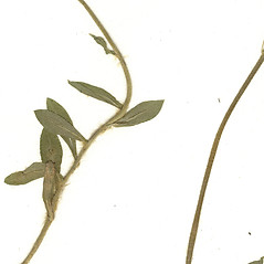 Stems: Hieracium flagellare. ~ By CONN Herbarium. ~ Copyright © 2019 CONN Herbarium. ~ Requests for image use not currently accepted by copyright holder ~ U. of Connecticut Herbarium - bgbaseserver.eeb.uconn.edu/
