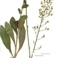 Plant form: Hieracium gronovii. ~ By CONN Herbarium. ~ Copyright © 2018 CONN Herbarium. ~ Requests for image use not currently accepted by copyright holder ~ U. of Connecticut Herbarium - bgbaseserver.eeb.uconn.edu/