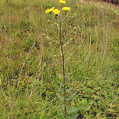 Plant form: Hieracium kalmii. ~ By Arthur Haines. ~ Copyright © 2018. ~ arthurhaines[at]wildblue.net