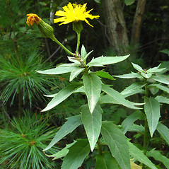 Plant form: Hieracium kalmii. ~ By Donna Kausen. ~ Copyright © 2018 Donna Kausen. ~ 33 Bears Den, Addison, ME 04606