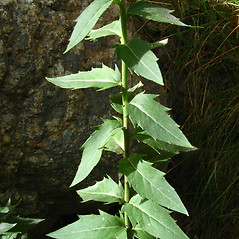 Leaves: Hieracium kalmii. ~ By Donna Kausen. ~ Copyright © 2020 Donna Kausen. ~ 33 Bears Den, Addison, ME 04606