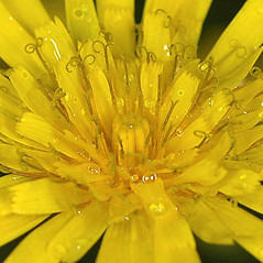 Flowers: Hieracium lachenalii. ~ By Gerry Carr. ~ Copyright © 2020 Gerry Carr. ~ gdcarr[at]comcast.net ~ Oregon Flora Image Project - www.botany.hawaii.edu/faculty/carr/ofp/ofp_index.htm