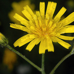 Flowers: Hieracium lachenalii. ~ By Gerry Carr. ~ Copyright © 2019 Gerry Carr. ~ gdcarr[at]comcast.net ~ Oregon Flora Image Project - www.botany.hawaii.edu/faculty/carr/ofp/ofp_index.htm