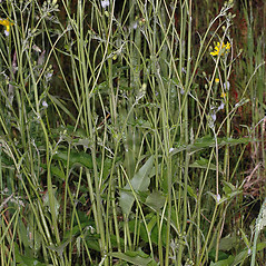 Plant form: Hieracium lachenalii. ~ By Gerry Carr. ~ Copyright © 2020 Gerry Carr. ~ gdcarr[at]comcast.net ~ Oregon Flora Image Project - www.botany.hawaii.edu/faculty/carr/ofp/ofp_index.htm