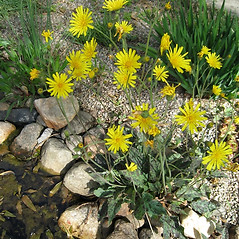 Plant form: Hieracium maculatum. ~ By Beverly Walters. ~ Copyright © 2018 Beverly Walters. ~ No permission needed for non-commercial uses, with proper credit ~ U. of Michigan Herbarium - herbarium.lsa.umich.edu/