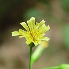 Flowers: Hieracium paniculatum. ~ By Arthur Haines. ~ Copyright © 2018. ~ arthurhaines[at]wildblue.net