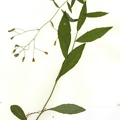 Plant form: Hieracium paniculatum. ~ By CONN Herbarium. ~ Copyright © 2017 CONN Herbarium. ~ Requests for image use not currently accepted by copyright holder ~ U. of Connecticut Herbarium - bgbaseserver.eeb.uconn.edu/