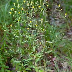 Plant form: Hieracium paniculatum. ~ By Thomas H. Kent. ~ Copyright © 2017 Thomas H. Kent. ~ admin[at]florafinder.com ~ florafinder.com