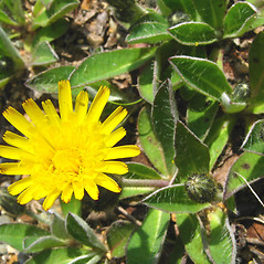 Flowers: Hieracium pilosella. ~ By Donna Kausen. ~ Copyright © 2017 Donna Kausen. ~ 33 Bears Den, Addison, ME 04606