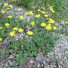Plant form: Hieracium pilosella. ~ By Arthur Haines. ~ Copyright © 2019. ~ arthurhaines[at]wildblue.net