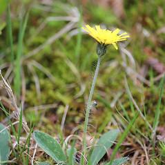 Plant form: Hieracium pilosella. ~ By Mareike Conrad. ~ Copyright © 2019 Mareike Conrad. ~ mareike.conrad[at]googlemail.com
