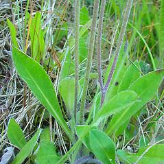 Stems: Hieracium pilosella. ~ By Glen Mittelhauser. ~ Copyright © 2019 Glen Mittelhauser. ~ www.mainenaturalhistory.org