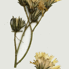 Flowers: Hieracium piloselloides. ~ By CONN Herbarium. ~ Copyright © 2019 CONN Herbarium. ~ Requests for image use not currently accepted by copyright holder ~ U. of Connecticut Herbarium - bgbaseserver.eeb.uconn.edu/