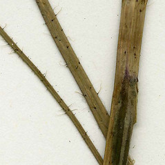 Stems: Hieracium piloselloides. ~ By CONN Herbarium. ~ Copyright © 2017 CONN Herbarium. ~ Requests for image use not currently accepted by copyright holder ~ U. of Connecticut Herbarium - bgbaseserver.eeb.uconn.edu/