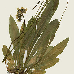 Plant form: Hieracium praealtum. ~ By CONN Herbarium. ~ Copyright © 2018 CONN Herbarium. ~ Requests for image use not currently accepted by copyright holder ~ U. of Connecticut Herbarium - bgbaseserver.eeb.uconn.edu/