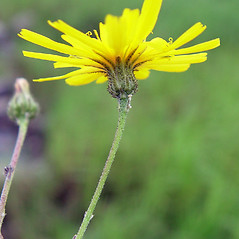 Flowers: Hieracium sabaudum. ~ By Arthur Haines. ~ Copyright © 2018. ~ arthurhaines[at]wildblue.net
