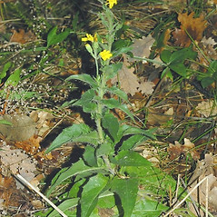 Plant form: Hieracium sabaudum. ~ By Giovanni Gestri. ~ Copyright © 2018 Giovanni Gestri. ~ Requests for image use not currently accepted by copyright holder ~ Acta Plantarum -  www.actaplantarum.org